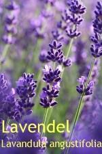Lavendelöle