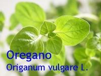 Oreganoöl, 50ml (100ml/32,00Euro)