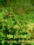 Majoranöl, 20 ml (100ml/29,50Euro)