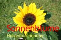 Sonnenblumenöl, kaltgepr., 500ml (1l/13,50Euro)
