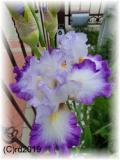 Iris, Parfümöl, 10 ml