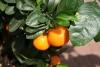 Orangenöl, 7-fach dest., 30 ml (100ml/12,00Euro)