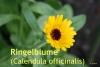 Calendula - Extrakt, 100 ml