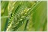 Gerstengras, gemahlen, 200g (100g/2,25Euro)