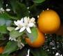 Orangenblüte/Neroli, naturid., Parfümöl, 20ml (100ml/24,00Euro)
