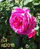 Englische Rose, Rose, naturid., Parfümöl, 20ml (100ml/24,75Euro)