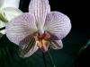 Orchideen, Parfümöl, 30 ml
