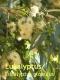 Eukalyptusöl, 100 ml