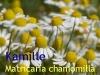 Kamillenöl, 2 ml  (100ml/276,00Euro)