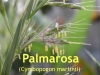 Palmarosaöl, 50ml  (100ml/16,50Euro)