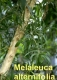 Teebaumöl, 50ml  (100ml/12,10Euro)