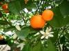 Mandarinenöl, rot, 30ml  (100ml/16,00Euro)