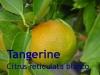 Tangerinenöl, 10ml