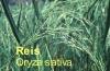 Reisöl, Reiskeimöl, 500ml  (1l/18,50Euro)