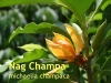 Nag Champa, Parfümöl, 10ml