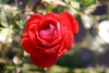 Rosenöl, naturrein, Türkei, 1ml