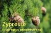 Zypressenöl, 30ml (100ml/17,10Euro)