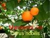 Mandarine, Parfümöl, 10 ml