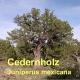 Cedernholzöl, 30ml (Texas/USA)  (100ml/16,50Euro)