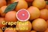 Grapefruitöl, pink, 100 ml (Italien/USA)