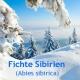 Fichtennadelöl, 30 ml (Sibirien) (100ml/13,50Euro)