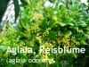 Aglaia, Reisblume - Parfümöl, 10ml