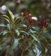Nelkenöl, Nelkenblütenöl 30 ml (100ml/16,50Euro)