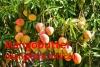 Mangobutter, raff., 100ml